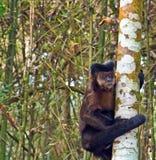 Robust Capuchinapa - Sapajus Apella Arkivfoto