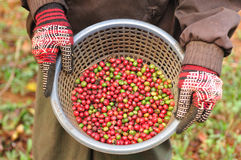 Robusta berries in basket. A agriculturist is showing robusta berries in basket royalty free stock images