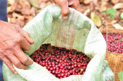 Robusta berries in plastic bag. The agriculturist is showing robusta berries in plastic bag stock photos