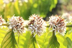 Robusta coffee flowers Royalty Free Stock Photo