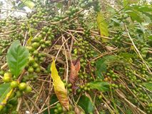 Robusta coffee seeds on a branch. Ripe robusta coffee ready to pick and harvest Stock Image