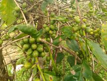 Robusta coffee seeds on a branch. Ripe robusta coffee ready to pick and harvest Stock Photo
