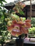 Robusta eller Shala träd eller SalträdShorea blomma Royaltyfria Foton
