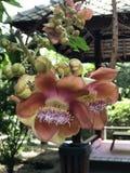 Robusta eller Shala träd eller SalträdShorea blomma Fotografering för Bildbyråer