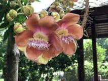 Robusta eller Shala träd eller SalträdShorea blomma Arkivfoto