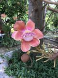 Robusta eller Shala träd eller SalträdShorea blomma Royaltyfri Fotografi