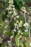 Robusta flower coffee plantation Stock Image