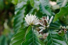 Robusta flower coffee plantation farm Royalty Free Stock Photo