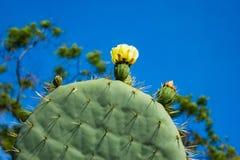 Robusta Opuntia, hjulkaktusblomningar, detalj som är botanisk Fotografering för Bildbyråer