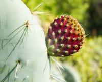 Robusta Opuntia, hjulkaktusblomningar, detalj som är botanisk Royaltyfria Foton