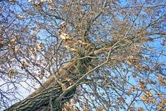 Robuster Baum im Winter Stockbilder