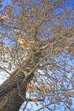 Robuster Baum im Winter Lizenzfreies Stockbild