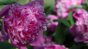 Rocío de la floración de la flor de la peonía almacen de video