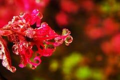 Rocío de la mañana del alazor Fotografía de archivo libre de regalías