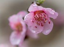 Rocío de la mañana del flor de la pera fotos de archivo libres de regalías
