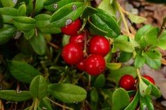 Rocío de la mañana del otoño en los arándanos de las bayas Foto de archivo