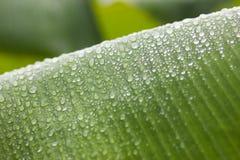 Rocío de la mañana del verde de la hoja del plátano fotografía de archivo