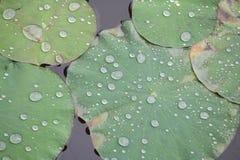 Rocío de la mañana en la hoja del loto fotos de archivo