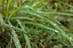 Rocío de la mañana en la hierba verde en las montañas cárpatas Fotografía de archivo