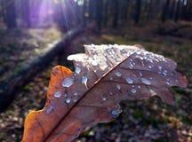 Rocío de la mañana en las hojas del roble Belleza madura imagen de archivo