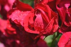 Rocío de la mañana en rosas rojas Imágenes de archivo libres de regalías
