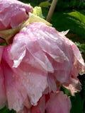 Rocío de la mañana en una peonía rosada floja Fotos de archivo libres de regalías