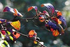 Rocío del otoño en el Web Imágenes de archivo libres de regalías