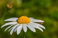 Rocío del primer de la flor de la margarita Imagen de archivo