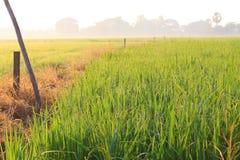 Rocío en campo del arroz Fotografía de archivo libre de regalías