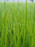Rocío en granja del arroz por mañana Foto de archivo