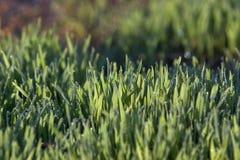 Rocío en hierba Imagen de archivo libre de regalías