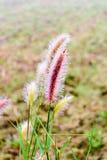 Rocío en hierba del poaceae en Tailandia Imagen de archivo libre de regalías