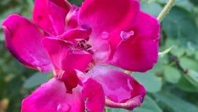 Rocío en la flor Fotos de archivo libres de regalías