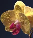 Rocío en la flor amarilla Imagenes de archivo