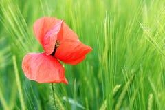 Rocío en la flor de la amapola Fotos de archivo libres de regalías