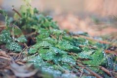 Rocío en la hierba de la primavera Foto de archivo