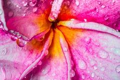 Rocío en las flores del frangipani - imagen común Foto de archivo