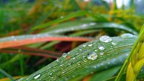 Rocío en las hojas del arroz Fotografía de archivo
