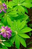 Rocío en las hojas del lupine Imagenes de archivo