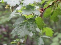Rocío en las hojas 3 del verde Imágenes de archivo libres de regalías