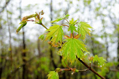 Rocío en las hojas después de la lluvia Imagen de archivo libre de regalías