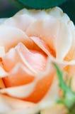 Rocío en los pétalos de rosas Fotografía de archivo