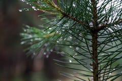 Rocío en ramas del pino Primer de descensos en agujas Imagen de archivo libre de regalías