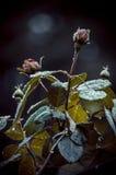 Rocío en un brote de la rosa Imagen de archivo libre de regalías