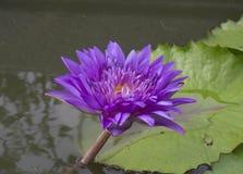 Rocío en una flor de loto con loto Fotografía de archivo