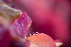 Rocío en una rosa Imagen de archivo