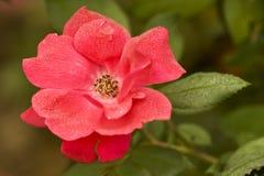 Rocío en una Rose Foto de archivo libre de regalías
