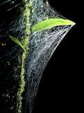 Rocío en webby Fotos de archivo