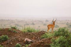 Roca del impala Foto de archivo libre de regalías