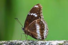 Roca que se besa de la mariposa Fotografía de archivo